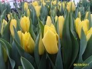 Тюльпаны к 8 марта Белгород