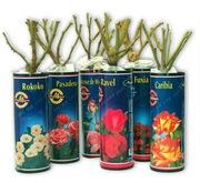 Саженцы роз в красочной тубе с закрытой корневой системой