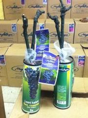 Саженцы винограда с закрытой корневой системой