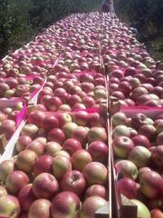Яблоки из Молдавии:  Айдаред,  Голден,  Семеренко