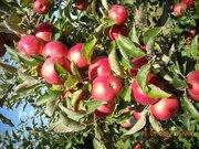 Продам Продаем оптом свежие овощи фрукты и Яблоки