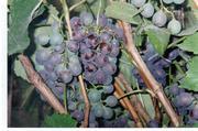 Черенки неукрывных сортов винограла