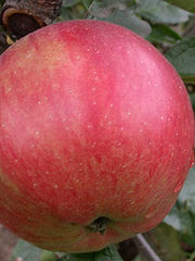 Продаем яблоки в Брянскую Облсть