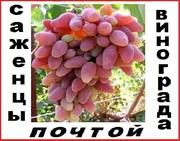 Высылаем саженцы  винограда 50 сортов 2-х летки почтой по России