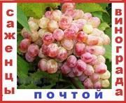 Почтой 2-х летние саженцы винограда морозоустойчивых сверх ранних  60 сортов