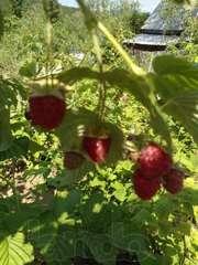 Продаю саженцы плодово-ягодных культур