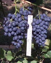 Виноградарство в Пензе