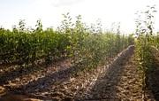 Саженцы Деревьев и Роз  ОПТ доставка по всей России