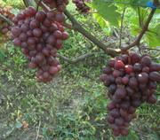 продаю саженцы и черенки винограда с доставкой до подъезда