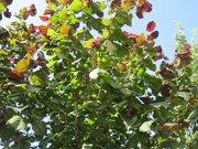 саженцы фундука краснолистного и зеленолистного
