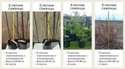 Саженцы голубики садовой из собственного питомника с доставкой по РФ