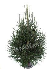 Живая елка с бесплатной доставкой